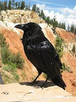 A raven at Bryce Canyon National Park in Utah.  I have a picture that I took with a Raven there.