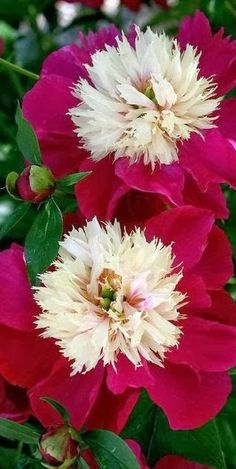 These two-tone double #Peonies in cream and deep pink would add incredible color to your yard! For #GardenDesign in the greater Twin Cities MN area, visit us at http://www.aldmn.com
