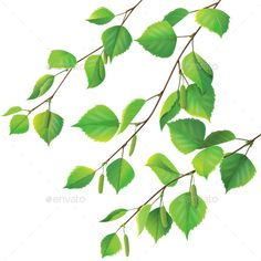 Buy Birch Branches by Val_Iva on GraphicRiver. Birch branches with catkins isolated on white. Fully editable vector objects separated and grouped. Eps file contains. Birch Tree Tattoos, Evergreen Tree Tattoo, Tree Branch Tattoo, Leaf Tattoos, Blatt Tattoos, Birch Tree Wedding, Birch Branches, Tree Tattoo Designs, Tree Graphic