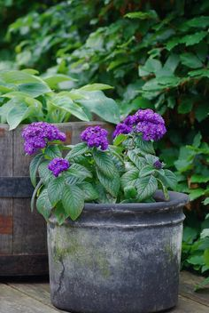 Almbacken: Some pots right now ~ nice light smelling Heliotrope