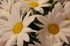 Daisies...the most beautiful flower ever!