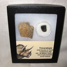 Medium Triceratops Dinosaur Frill & Tooth Set #22 $45.00  Description Triceratops Dinosaur Frill & Tooth Set Cretaceous Age Hell Creek Formation South Dakota This display set consists of 1 nice piece of Triceratops Frill (Head Shield) and 1 nice Triceratops Shed Tooth (A tooth that was worn and shed to make room for a NEW tooth in the jaw) Specimen will come in the 4.25″ x 5.25″ Riker Mounts as shown.
