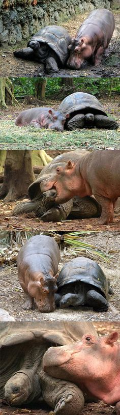 This baby hippo looks for love with the big old tortoise in the place they are both housed. They have become firm friends.