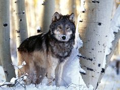 wolf wallpaper - Buscar con Google