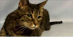 urgentpodrcats: TO BE DESTROYED http://nyccats.urgentpodr.org/sunday-a0718058/ … SUNDAY - A0718058...