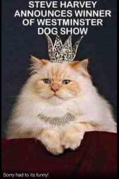 Steve Harvey Announces Winner of Westminster Dog Show Funny Cats And Dogs, Cats And Kittens, Cute Cats, Funny Animals, Animal Funnies, Funny Cat Memes, Funny Cat Videos, Hilarious, It's Funny