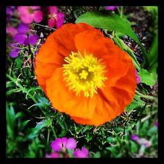 Poppy in the Fishingham Garden | 06.20.12 | Photo by Jeff Fisher