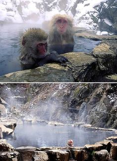 """The Jigokudani Hot Springs in Nagano Prefecture, Japan is most famous for its so called """"snow monkeys"""" — wild Japanese monkeys enjoying the naturally hot waters alongside the human visitors. More than one hundred Macaques --Japan's indigenous monkeys-- live in the Jigokudani Monkey Park, located in a valley called the """"Hell Valley"""" for the volcanic activities observed there."""