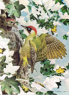 Green Woodpecker - 1980 Vintage Bird Print by Basil Ede