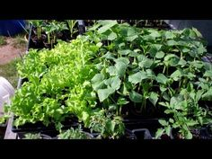 Starting Seeds In 3 Inch Net Cups (air pruning pots)! Garden Seeds, Planting Seeds, Container Gardening, Gardening Tips, Self Watering Containers, Bottle Garden, Seed Starting, Edible Garden, Propagation