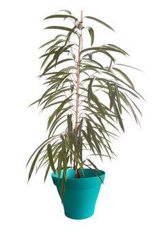 Ficus alii avec cache pot turquoise
