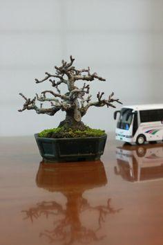 Blog of the super mini bonsai- Mini bonsai Karin (10 centimeter class)