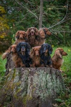 Oh my!  Look at this herd of long-haired Dachshunds!  How in the Hell did they get them all to stand still ??