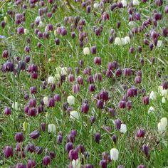 Eine wiese voller Schachbrettblumen (Fritillaria meleagris) <3 Pflanzzeit ist im Herbst - online erhältlich bei www.fluwel.de