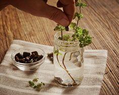 Gardening 101 How to Root Herbs in Water ; Gardenista