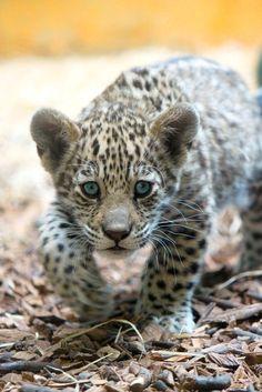 Baby Jaguar Stalking