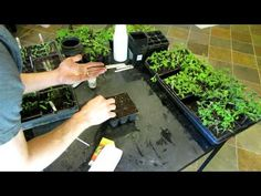 How To Seed Start Tomatoes and Peppers Indoors Using Seed Trays