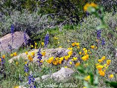 What: Mexican Gold Poppies & Coulter's Lupine Where: White Tank Mountain Regional Park When: February 24, 2017 Photo by: Cynthia Gabert White