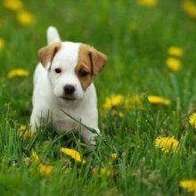 Dogs For Sale Dallas Kijiji
