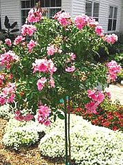 Dwarf flowering trees for zone 5 gardening articles for Dwarf ornamental trees for zone 4