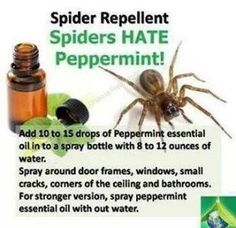 Spider Repellent - I rubbed peppermint oil on the exterior window frames & haven't seen a spider web in months (& they were a daily battle before this! Household Cleaning Tips, Cleaning Recipes, Household Cleaners, Household Pests, Cleaning Items, Diy Cleaners, Natural Spider Repellant, Spider Spray, Bug Spray Recipe
