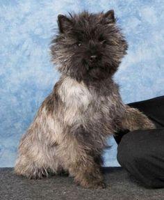 Meet the Cairn Terrier - Cairn Terrier Club of America