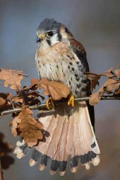 Falco Sparverius by Milan Zygmunt.