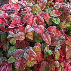 Options Evergreen Shrubs, Flowering Shrubs, Nandina Plant, Lemon Lime Nandina, Groomsmen Proposal, Thing 1, Blooming Plants, Garden Beds, Green Colors