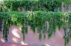 Image result for snow.white trailing plant wall