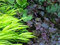 One of my long-time favorite, leafy ground covers for dappled sunlight, Heuchera 'Palace Purple', combines well with many other shade garden plants. And I particularly love the leathery-maroon leaves beneath Hakonechloa macra 'All Gold'