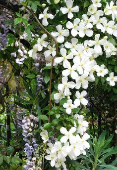 6 Tips for Growing Clematis - the Queen of Climbers - Longfield Gardens White Clematis, Clematis Plants, Clematis Vine, Flowers Perennials, Planting Flowers, Flower Gardening, Growing Flowers, Climbing Flowers, Climbing Vines
