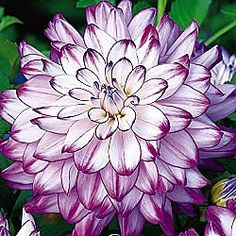 """~Dinnerplate Dahlia - i love these huge blooms - this variety (the """"who dun it"""") is gorgeous, going to try save the tubers this year to reuse"""