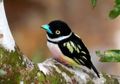 Really this is a real bird. A black and yellow broadbill (photo by Robert Chong).