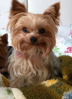 Smile please....ours loves to give a big,toothy grin so cute #YorkshireTerrier