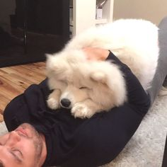 "So much fluff to snuggles @we_love_samoyed) on Instagram: ""Posted by @simba.thesamoyed Love to tag? Please DO⤵ : #samoyedlover #samoyedclub…"""