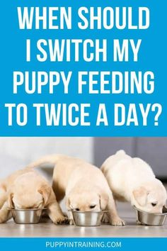 When Should I Switch My Puppy Feeding to Twice A Day? Three yellow Lab puppies eating in a row Small Dog Breeds, Small Dogs, Puppy Feeding Guide, Puppy Schedule, Golden Retriever Labrador, Yellow Lab Puppies, 2 Month Olds, Service Dogs, Dog Training Tips
