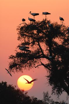 "vurtual:  White storks at evening (by Daniel Montero) ""When migrating from north Euorpe to Africa, white storks usually stop in the south of..."
