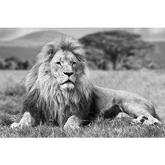 Zwart-witportret Leeuw, bedrukt op glas. Verkrijgbaar op Emob.eu