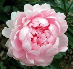 Şakayık,Bojur,Paeonia,şakayık çiçeği bakımı