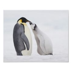#emperor #penguins