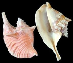 Rooster Conch