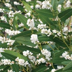 Hardenbergia 'Alba' - Australian native twining plant which is not overly vigorous but will cover a fence or trellis. It has leathery, dark green leaves and pea-shaped purple flowers in late winter and spring.