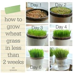 How to grow wheat grass in 2 weeks or less