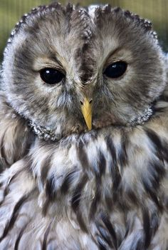 Owl by Jason Shallcross, via Flickr