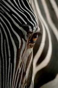 Sköna Rum: monarch of stripes, the zebra