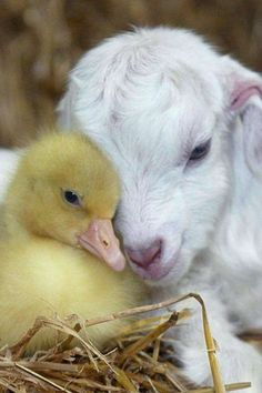 ★☯★ It's puppy love between a baby #goat and #duckling