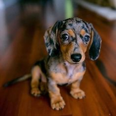 Shop for dachshund products, dachshund dog ramp and other amazing products. Treat your wiener dog, sausage dog or loving dachshund today! Cute Puppies, Cute Dogs, Dogs And Puppies, Cockapoo Puppies, Puppies Tips, Dogs Pitbull, Chihuahua Dogs, Funny Dogs, Weenie Dogs