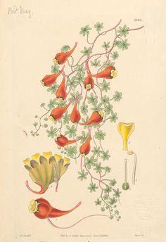 Tropaeolum tricolor - Buscar con Google Fauna, Rooster, Flowers, Painting, Animals, Google, Garden, Art, Art Background