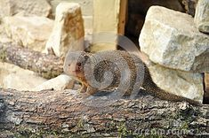African Mongoose On Wood - Download From Over 48 Million High Quality Stock Photos, Images, Vectors. Sign up for FREE today. Image: 41242390