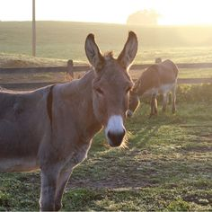 Sponsoring a donkey, mule, or hinny here at the Donkey Sanctuary of Canada will help to provide support for animals here at the Sanctuary. Funny Donkey Pictures, A Donkey, Stuart Little, Miniature Donkey, Bee Farm, Cattle Farming, Farms Living, Pictures To Paint, Wall Collage
